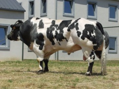 Plemenný býk