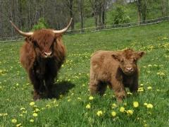 Kráva s teletem