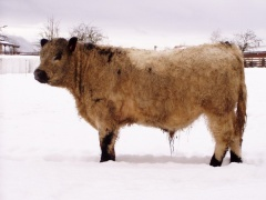 Plemenný býk (forma white-park)